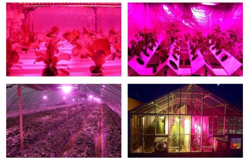 Fioletowe światło emitowane przez lampę do wzrostu roślin