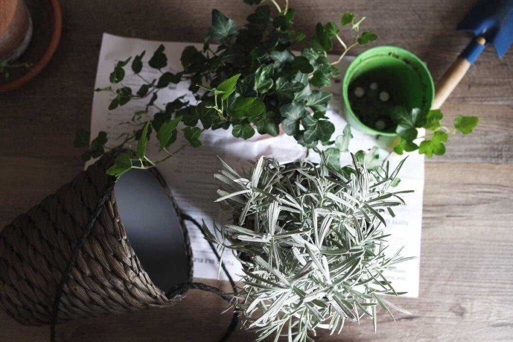 Rośliny oczyszczające powietrze - bluszcz