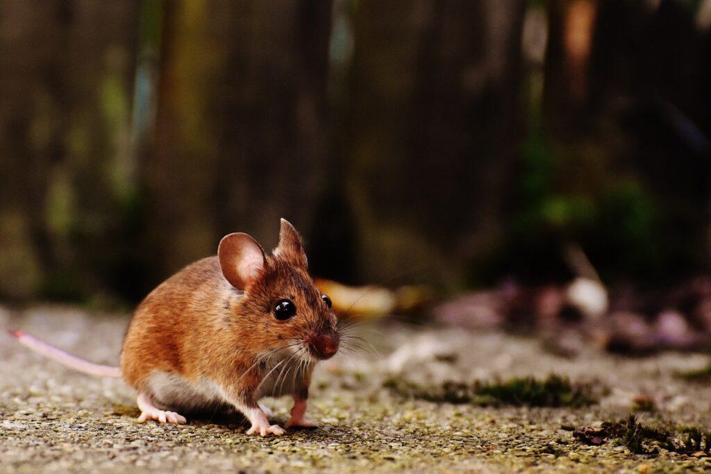 Czy odstraszacz myszy działa? Sprawdź, co warto o nim wiedzieć