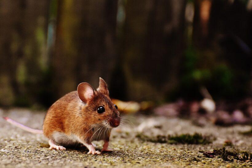 Odstraszacz myszy - mysz mu się przygląda