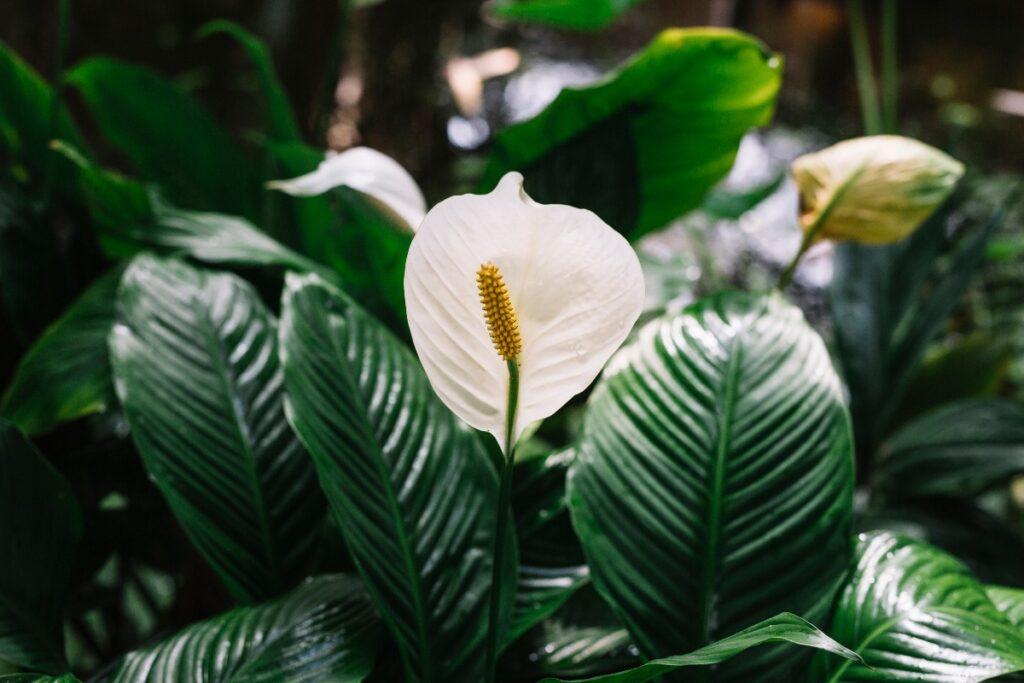 Rośliny oczyszczające powietrze - skrzydłokwiat