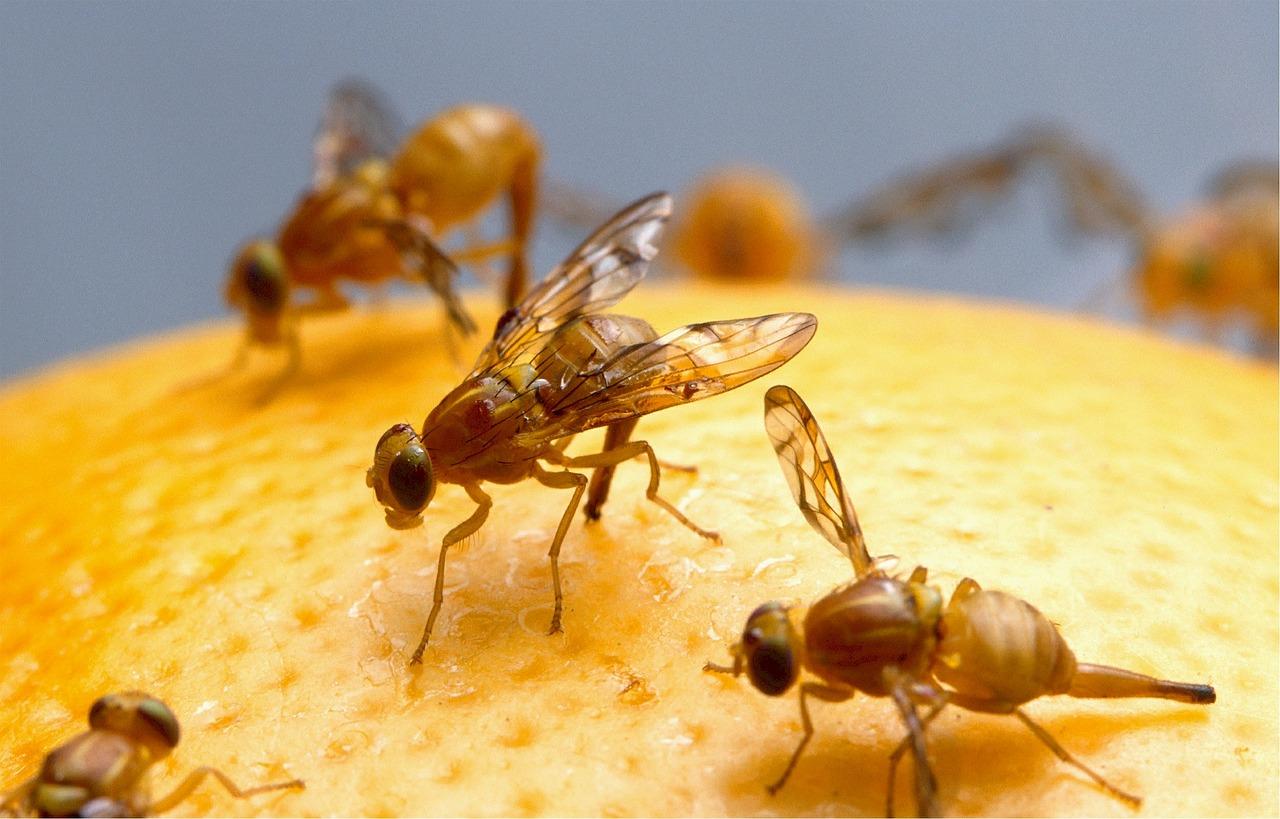 Sposób na muszki owocówki na cytrynie