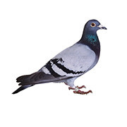 Odstraszacze gołębi