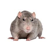 Odstraszacze szczurów